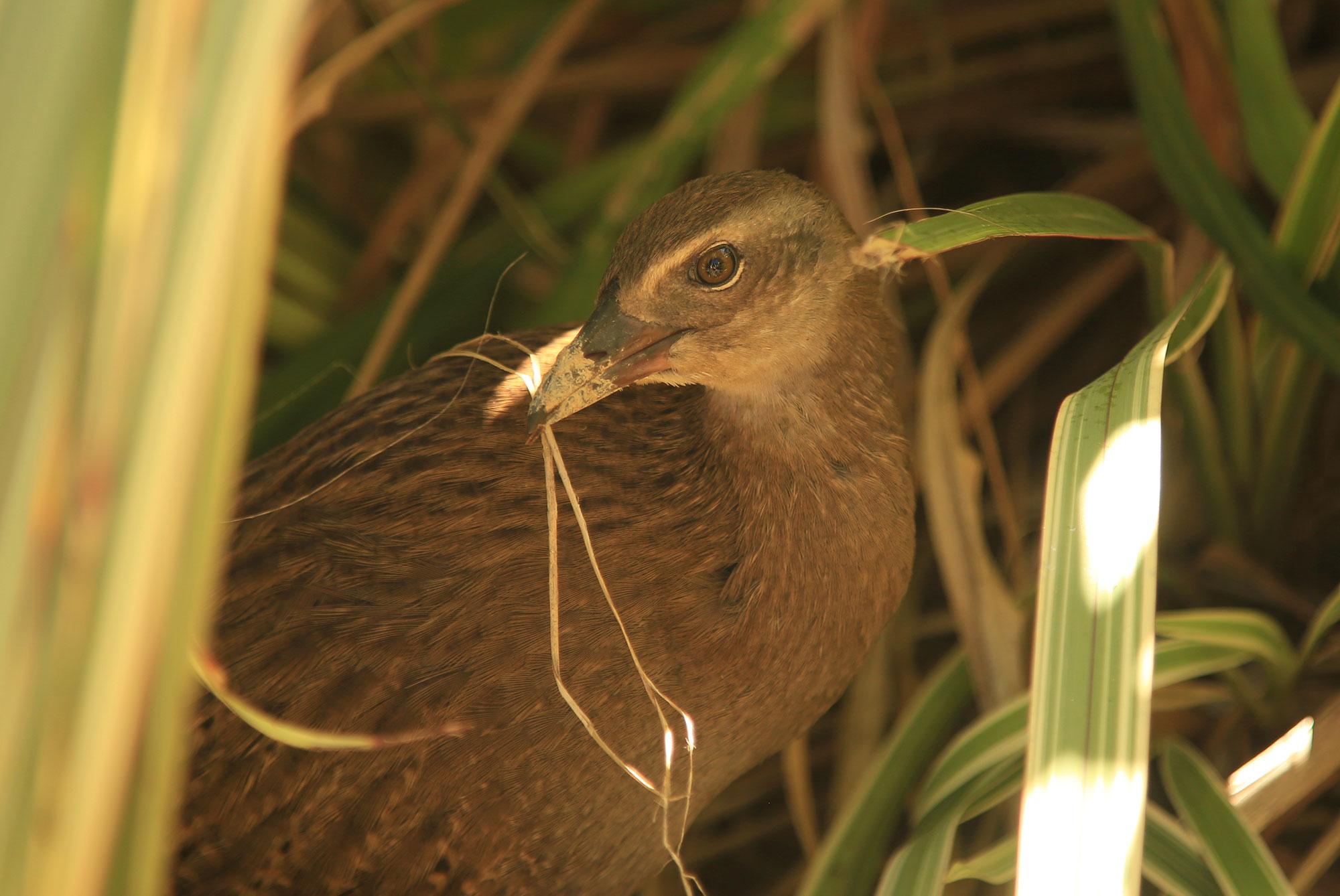 Punga Cove Weka Grass